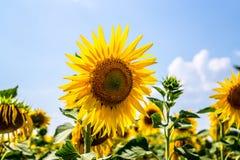 Agricoltura in Europa Orientale Girasoli gialli di fioritura e cielo blu luminoso Fotografie Stock