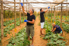 Agricoltura, fare il giardinaggio, agricoltura e concetto della gente - affare di famiglia Famiglia che lavora insieme nella serr Fotografia Stock