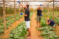 Agricoltura, fare il giardinaggio, agricoltura e famiglia di concetto della gente che raccoglie cetriolo alla serra Fotografia Stock Libera da Diritti