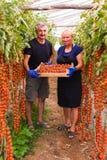 Agricoltura, fare il giardinaggio, medio evo e concetto della gente - donna senior ed uomo che effettuano il raccolto dei pomodor Fotografia Stock Libera da Diritti