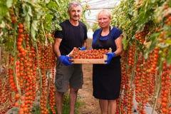 Agricoltura, fare il giardinaggio, medio evo e concetto della gente - donna senior ed uomo che effettuano il raccolto dei pomodor Immagini Stock Libere da Diritti