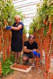 Agricoltura, fare il giardinaggio, medio evo e concetto della gente - donna senior ed uomo che effettuano il raccolto dei pomodor Fotografia Stock
