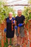 Agricoltura, fare il giardinaggio, medio evo e concetto della gente - donna senior ed uomo che effettuano il raccolto dei pomodor Immagine Stock