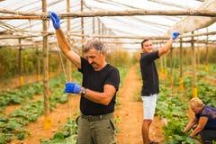 Agricoltura, fare il giardinaggio, agricoltura, raccogliere e concetto della gente - famiglia felice che lavora alle piante o all Fotografia Stock