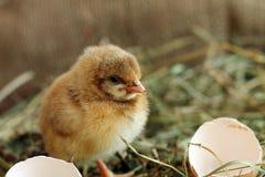 agricoltura Foto dello studio del pollo adorabile Fotografie Stock