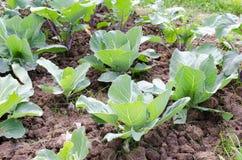 agricoltura Foto di coltivare giovane cavolo nel giardino Fotografie Stock