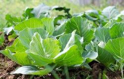 agricoltura Foto di coltivare giovane cavolo nel giardino Immagine Stock Libera da Diritti