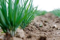 agricoltura Foto di giovane cipolla crescente nel giardino Fotografie Stock Libere da Diritti