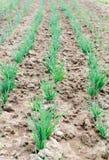 agricoltura Foto di giovane cipolla crescente nel giardino Immagini Stock Libere da Diritti