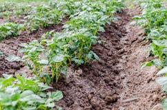 agricoltura Foto di giovane patata crescente nel giardino Fotografie Stock Libere da Diritti