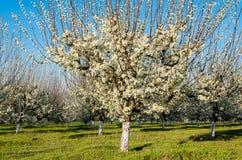 Agricoltura - frutteto blu della prugna in piena fioritura Fotografia Stock