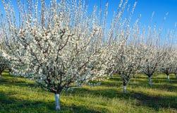 Agricoltura - frutteto blu della prugna in piena fioritura Immagini Stock