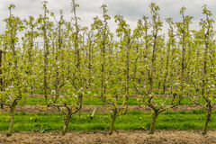 Agricoltura - frutteto della pera Fotografia Stock Libera da Diritti