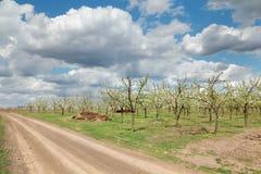 Agricoltura, frutteto della prugna Fotografie Stock Libere da Diritti