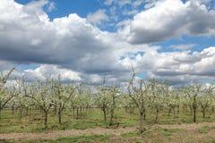 Agricoltura, frutteto della prugna Fotografie Stock
