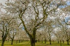 Agricoltura - frutteto di ciliegia Immagine Stock