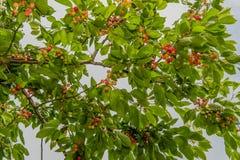 Agricoltura - frutteto di ciliegia Fotografia Stock Libera da Diritti