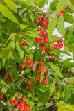 Agricoltura - frutteto di ciliegia Fotografia Stock