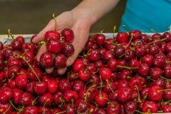 Agricoltura - frutteto di ciliegia Fotografie Stock Libere da Diritti