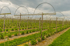 Agricoltura - frutteto di frutta Fotografia Stock Libera da Diritti