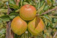 Agricoltura - frutti Fotografia Stock Libera da Diritti