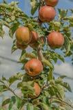 Agricoltura - frutti Immagini Stock