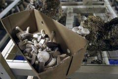 Agricoltura - fungo Fotografie Stock Libere da Diritti