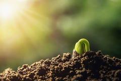 agricoltura germoglio della pianta che cresce sui suoli fotografie stock