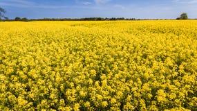 agricoltura Giacimento del seme di ravizzone l'irlanda immagine stock libera da diritti