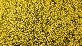 agricoltura Giacimento del seme di ravizzone l'irlanda fotografia stock
