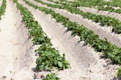 Agricoltura, giacimento della patata Immagine Stock