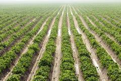 Agricoltura, giacimento della patata Immagini Stock Libere da Diritti