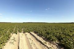 Agricoltura, giacimento della patata Fotografia Stock