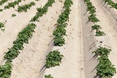 Agricoltura, giacimento della patata Immagini Stock