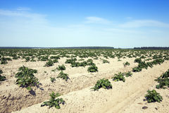 Agricoltura, giacimento della patata Fotografia Stock Libera da Diritti
