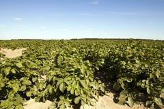 Agricoltura, giacimento della patata Fotografie Stock