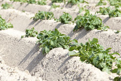 Agricoltura, giacimento della patata Fotografie Stock Libere da Diritti