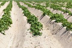 Agricoltura, giacimento della patata Immagine Stock Libera da Diritti