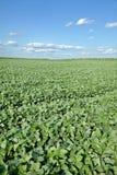 Agricoltura, giacimento della soia Fotografia Stock Libera da Diritti