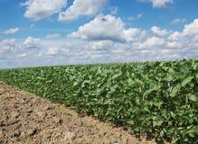 Agricoltura, giacimento della soia Fotografia Stock