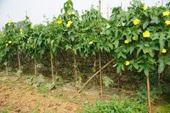 Agricoltura, giacimento della zucca Fotografie Stock Libere da Diritti
