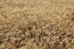 Agricoltura, giacimento di grano Fotografia Stock Libera da Diritti