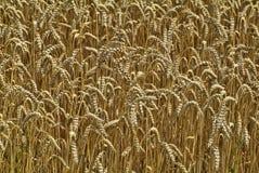 Agricoltura, grano Fotografie Stock
