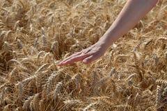 Agricoltura, grano e mano Immagine Stock Libera da Diritti
