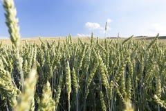 Agricoltura, grano non maturo Fotografie Stock