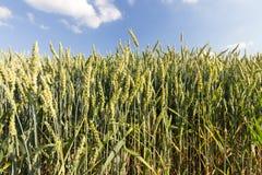 Agricoltura, grano non maturo Fotografie Stock Libere da Diritti