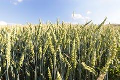 Agricoltura, grano non maturo Immagini Stock