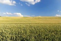 Agricoltura, grano non maturo Immagine Stock Libera da Diritti