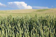 Agricoltura, grano non maturo Immagini Stock Libere da Diritti