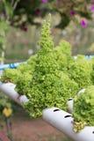 Agricoltura idroponica dell'insalata Immagini Stock Libere da Diritti